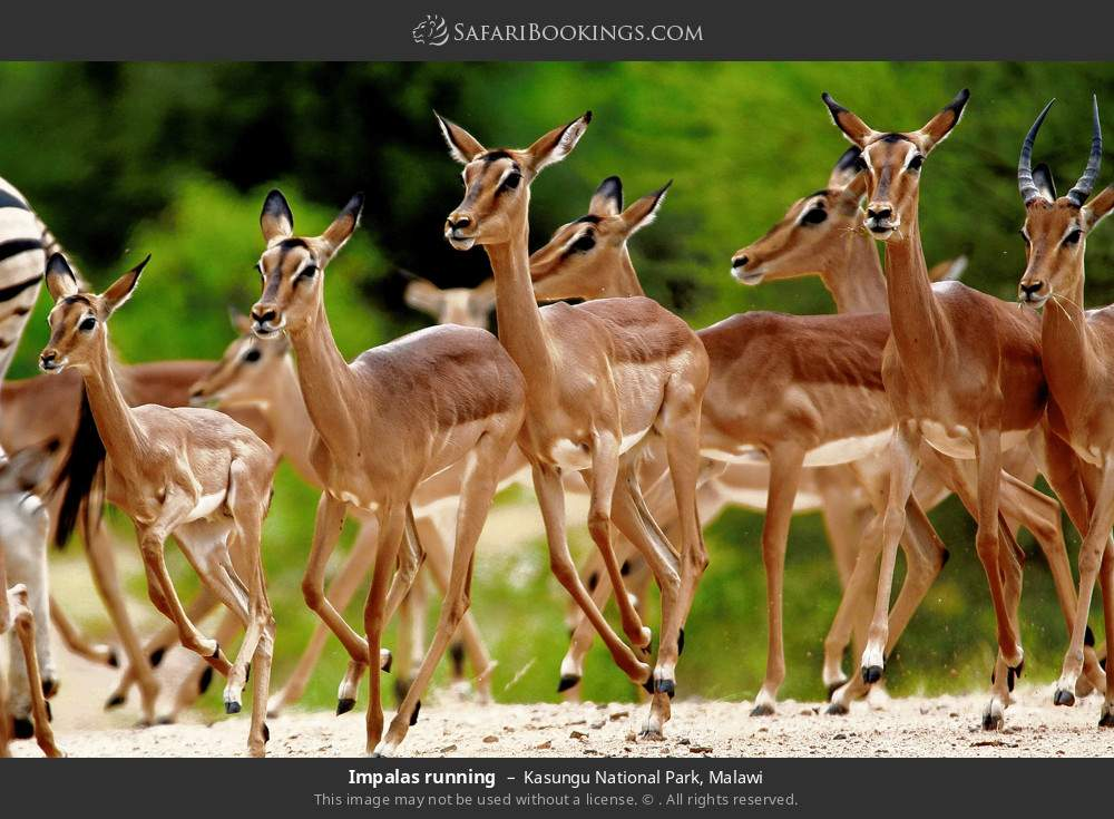 Impalas running in Kasungu National Park, Malawi