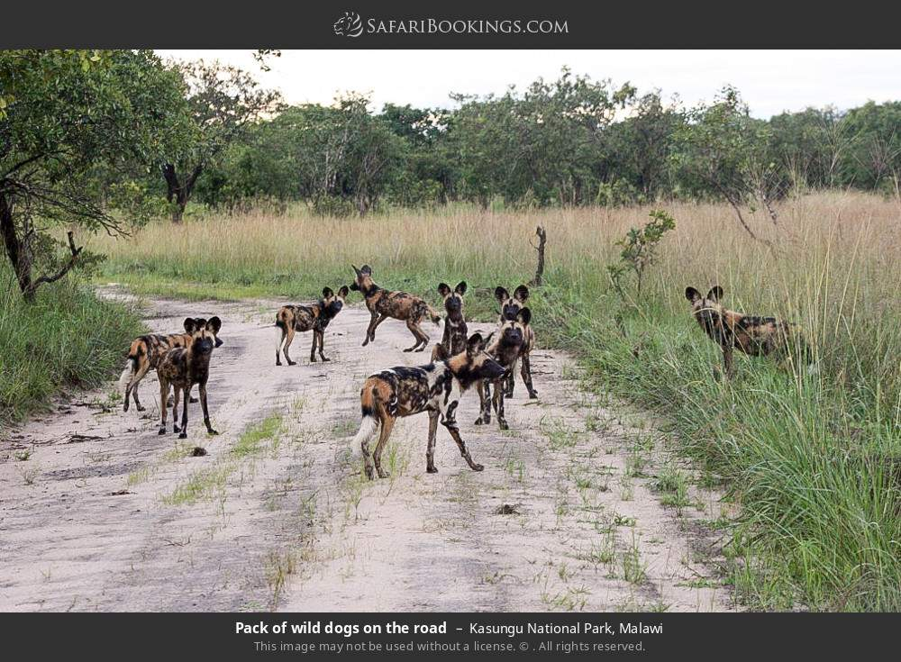 Pack of wild dogs on the road in Kasungu National Park, Malawi
