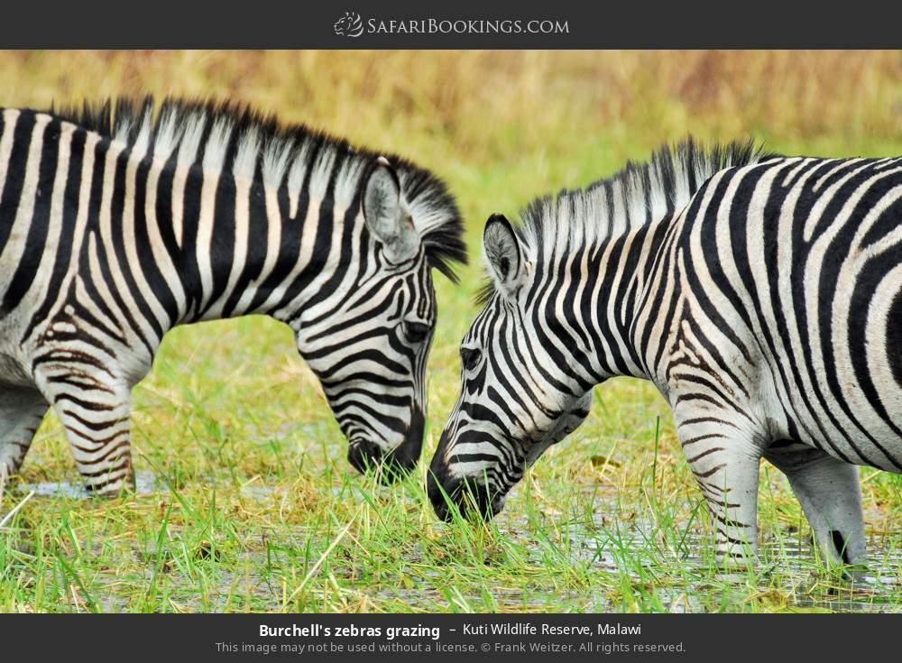 Burchell's zebras grazing in Kuti Wildlife Reserve, Malawi