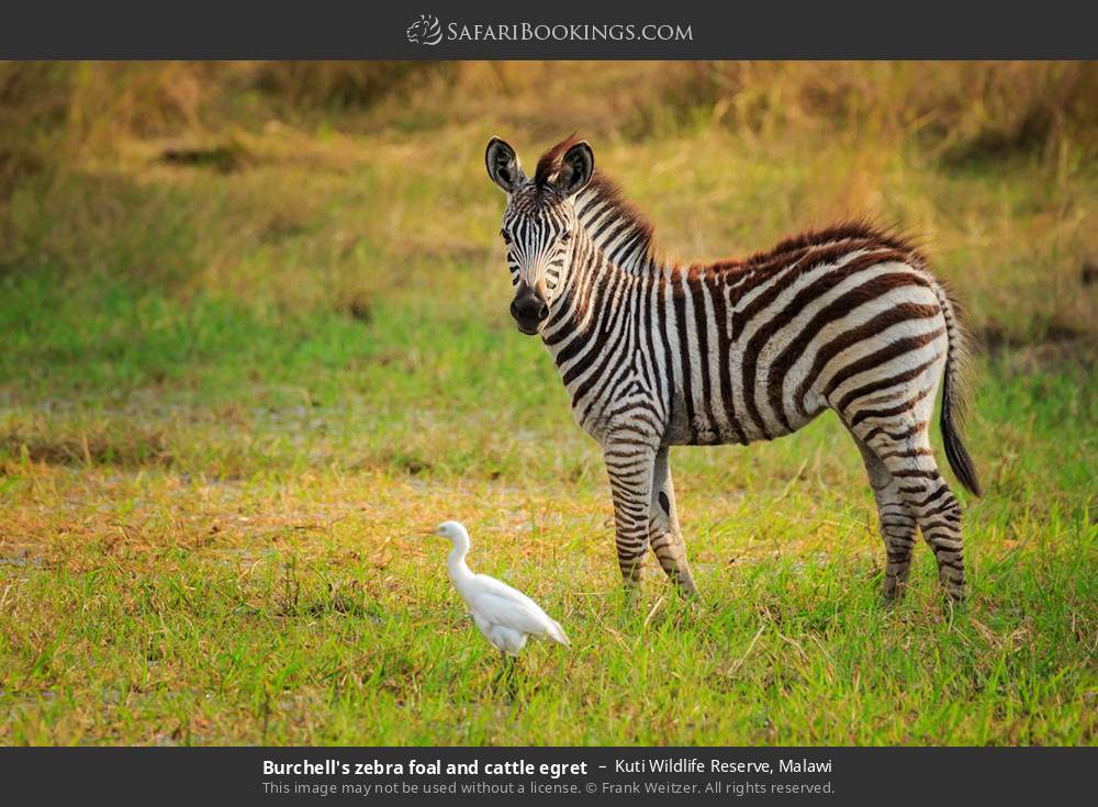 Burchell's zebra foal and cattle egret in Kuti Wildlife Reserve, Malawi