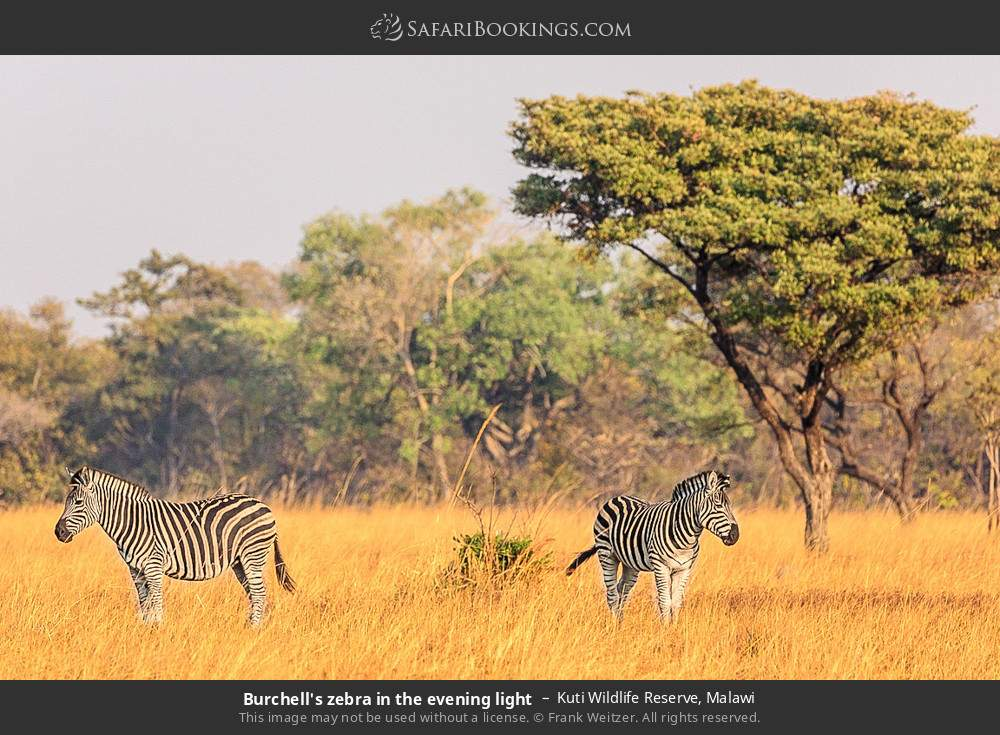 Burchell's zebra in the evening light in Kuti Wildlife Reserve, Malawi