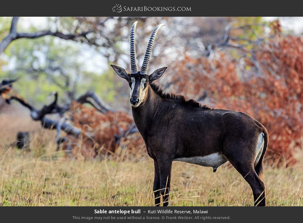 Sable antelope bull in Kuti Wildlife Reserve, Malawi