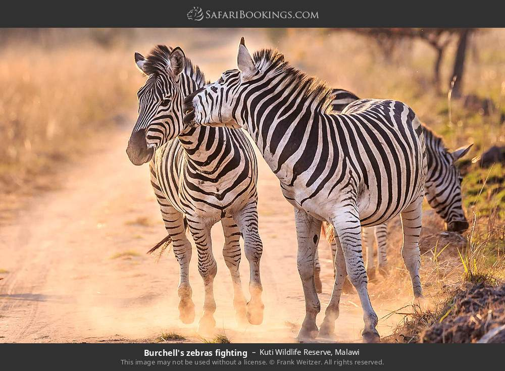 Burchell's zebras fishting in Kuti Wildlife Reserve, Malawi