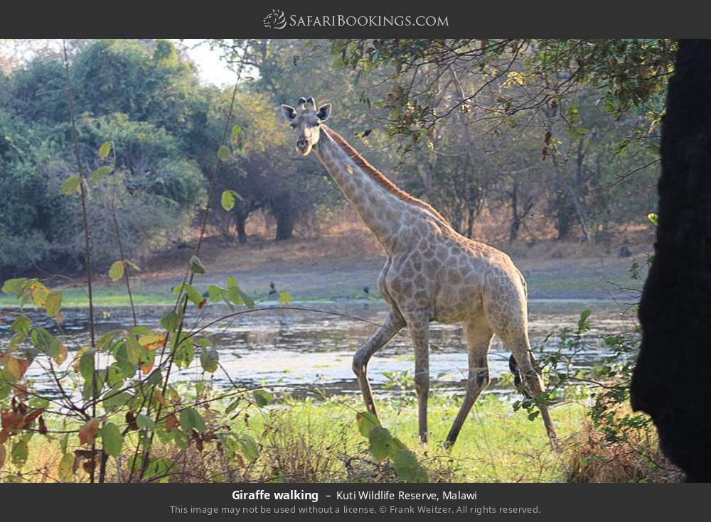 Giraffe walking in Kuti Wildlife Reserve, Malawi