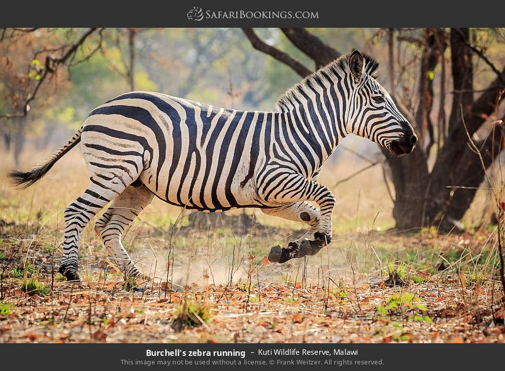 Burchell's zebra running in Kuti Wildlife Reserve, Malawi