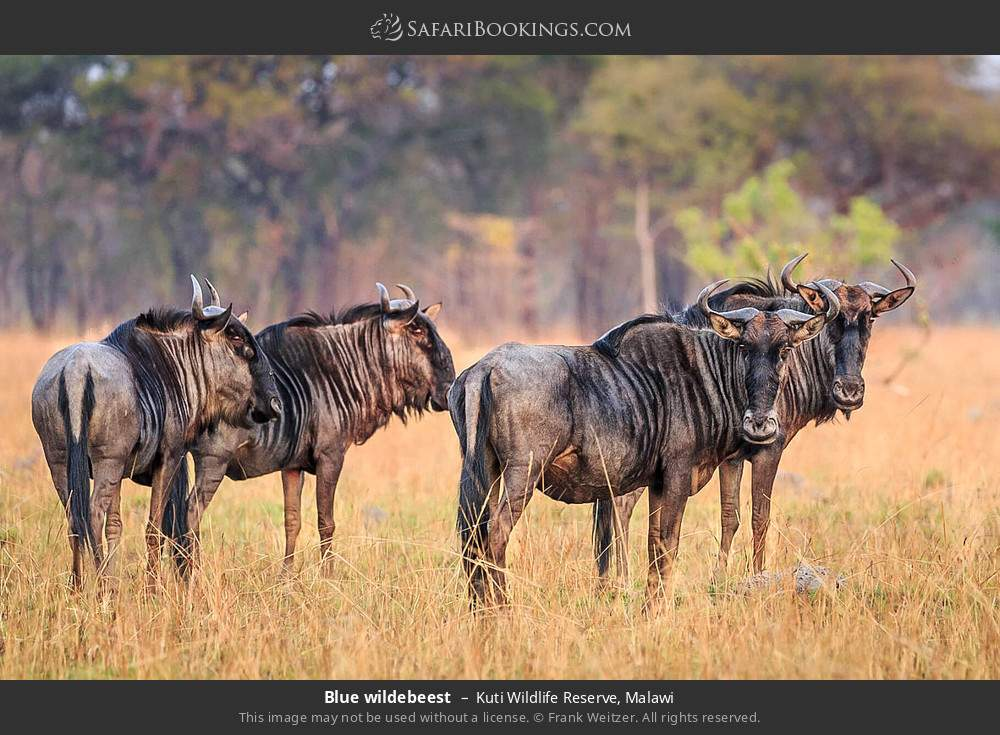 Blue wildebeest in Kuti Wildlife Reserve, Malawi