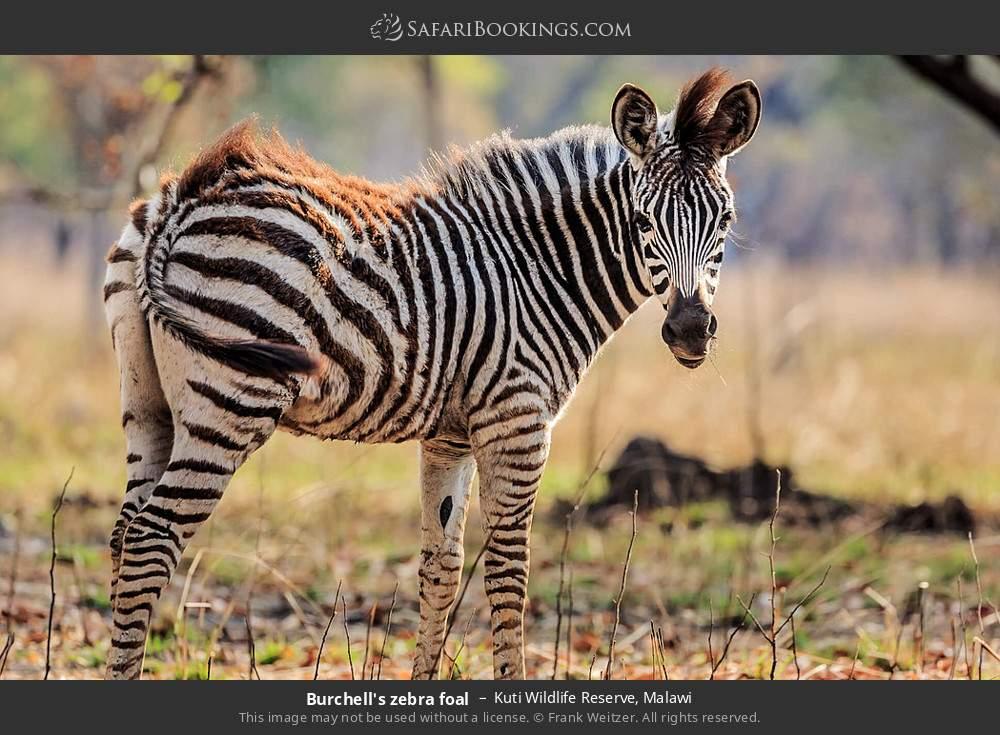 Burchell's zebra foal in Kuti Wildlife Reserve, Malawi
