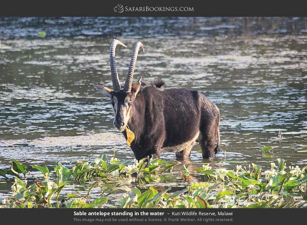 Sable antelope standing in the water in Kuti Wildlife Reserve, Malawi