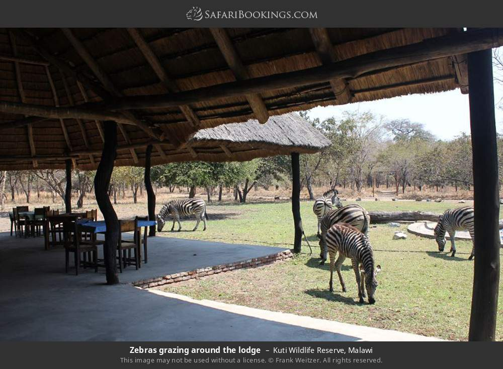 Zebras grazing around the lodge in Kuti Wildlife Reserve, Malawi