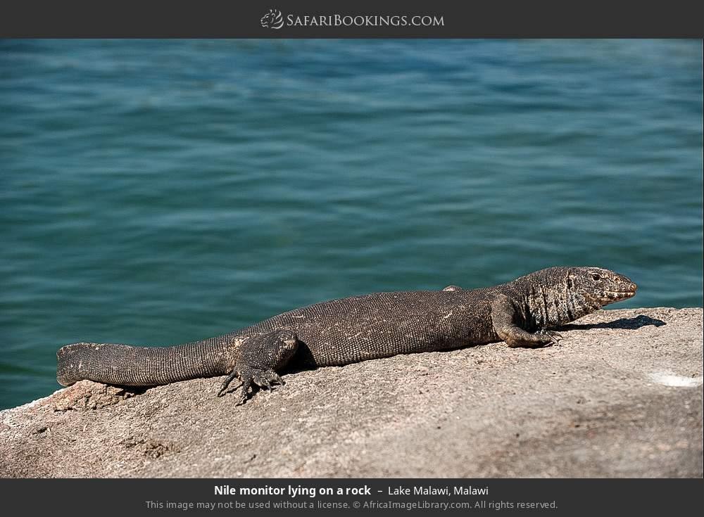 Nile monitor lying on a rock in Lake Malawi, Malawi