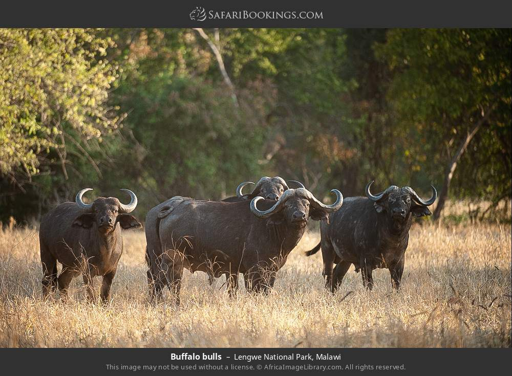 Buffalo bulls in Lengwe National Park, Malawi