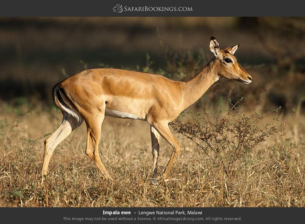 Impala ewe in Lengwe National Park, Malawi