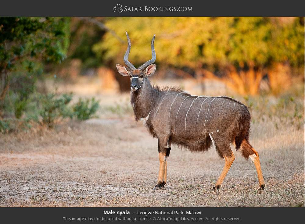 Male Nyala in Lengwe National Park, Malawi