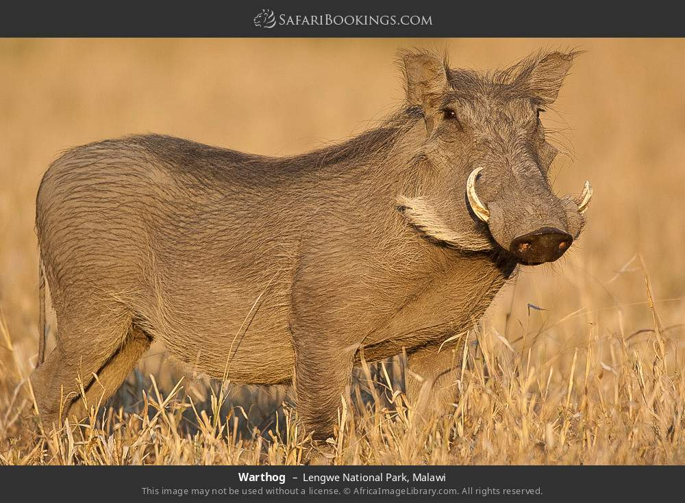 Warthog in Lengwe National Park, Malawi