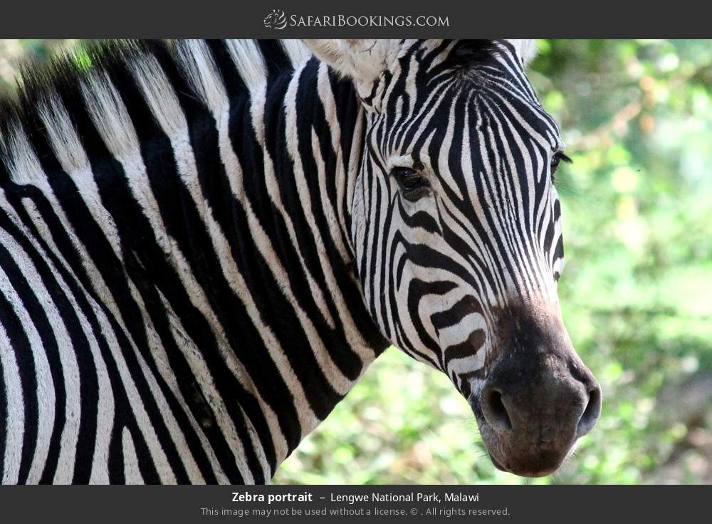 Zebra portrait in Lengwe National Park, Malawi