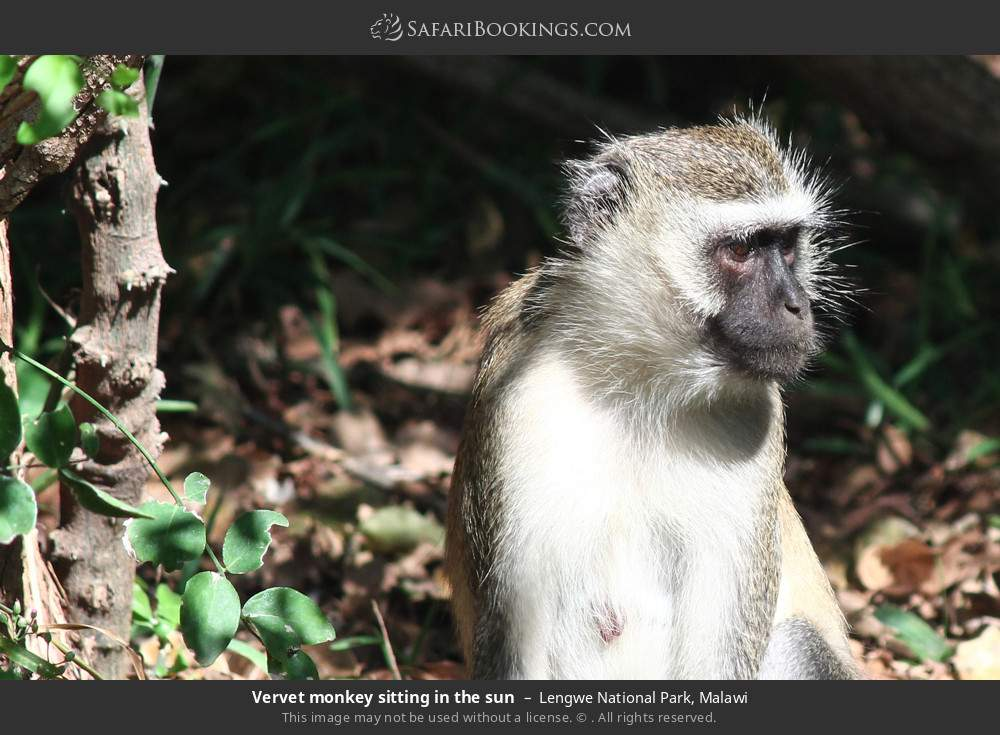 Vervet monkey sitting in the sun in Lengwe National Park, Malawi