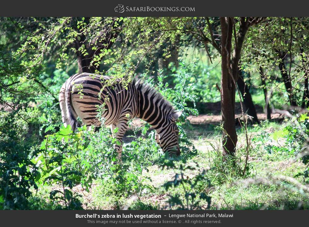 Burchell's zebra in lush vegetation in Lengwe National Park, Malawi