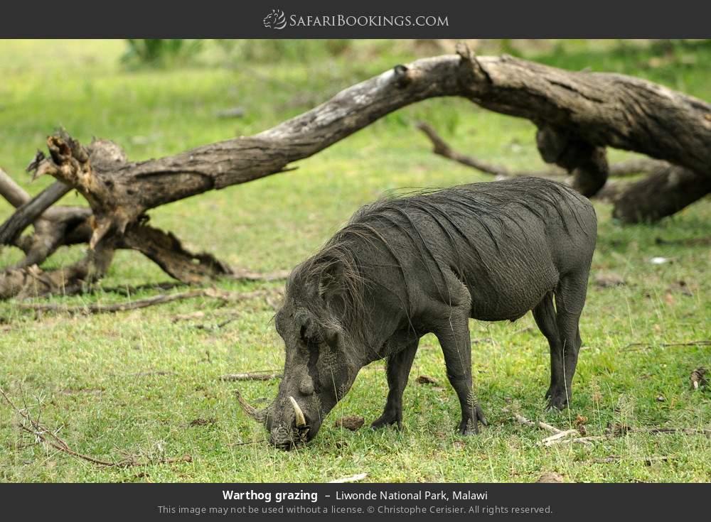 Warthog grazing in Liwonde National Park, Malawi