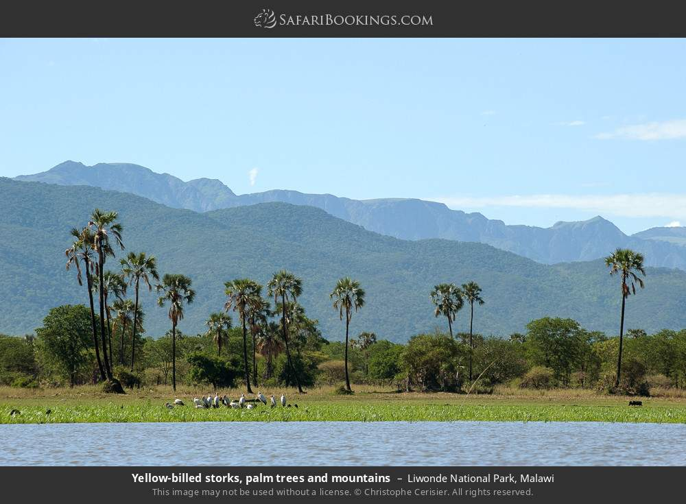 Yellow-billed storks, palm trees and mountains in Liwonde National Park, Malawi