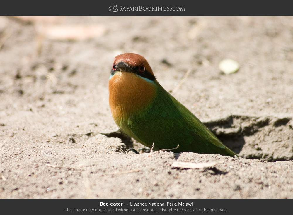 Bee-eater in Liwonde National Park, Malawi