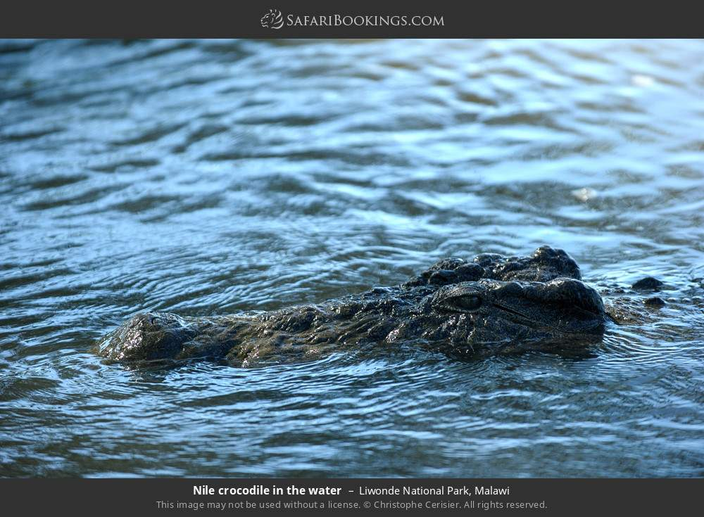 Nile crocodile in the water in Liwonde National Park, Malawi
