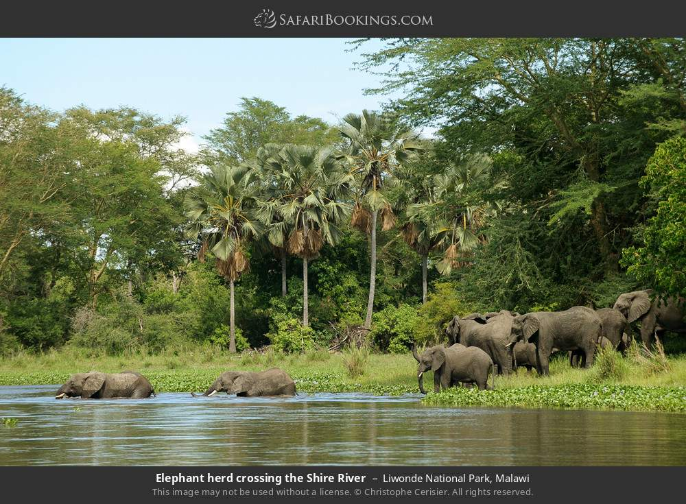 Elephant herd crossing the Shire river in Liwonde National Park, Malawi
