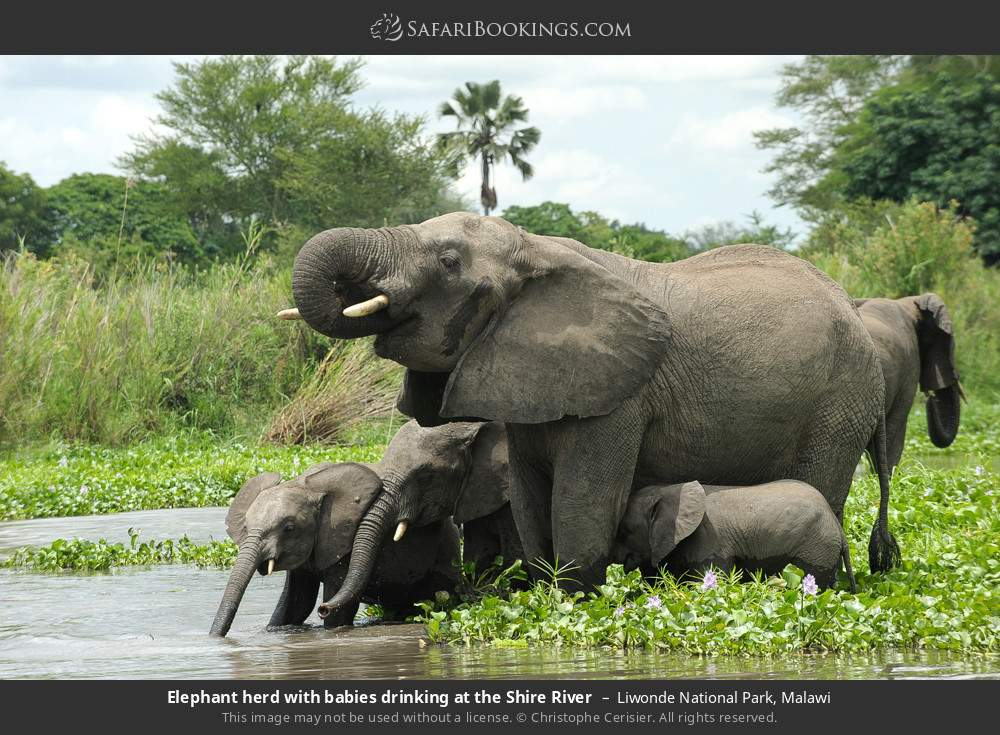 Elephant herd with babies drinking at the Shire River in Liwonde National Park, Malawi