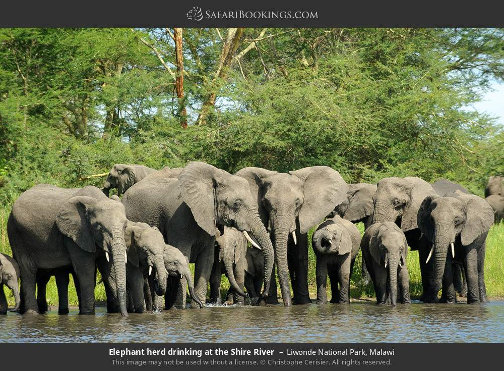 Elephant herd drinking at the Shire River in Liwonde National Park, Malawi