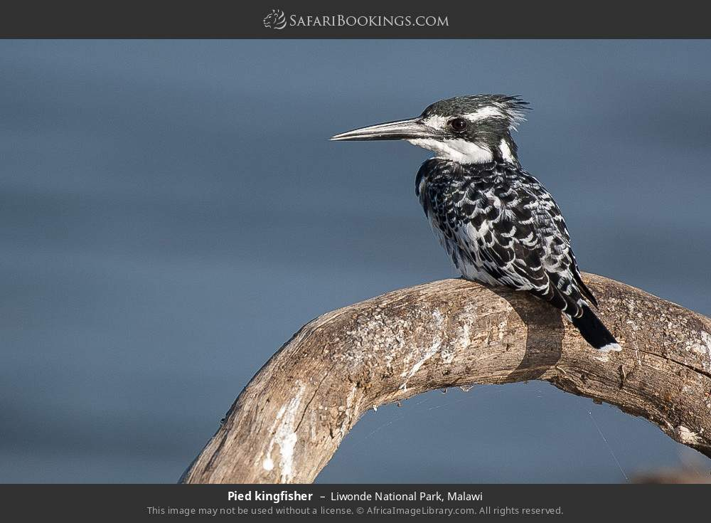 Pied kingfisher in Liwonde National Park, Malawi