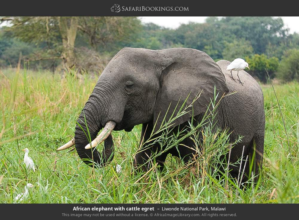 African elephant with cattle egret in Liwonde National Park, Malawi
