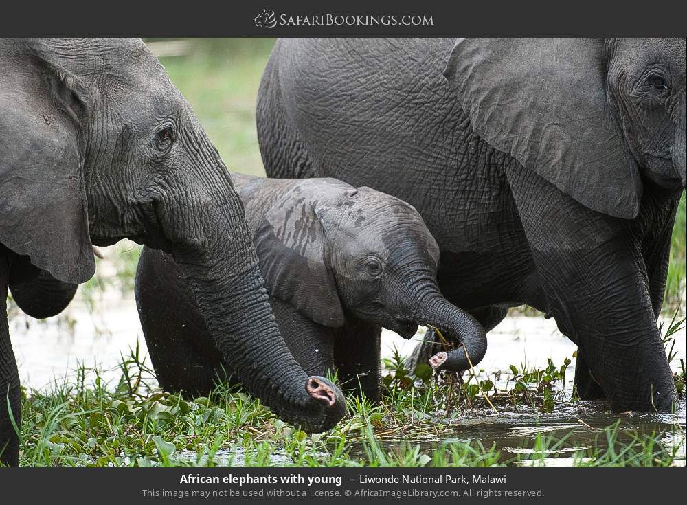 African elephants with young in Liwonde National Park, Malawi