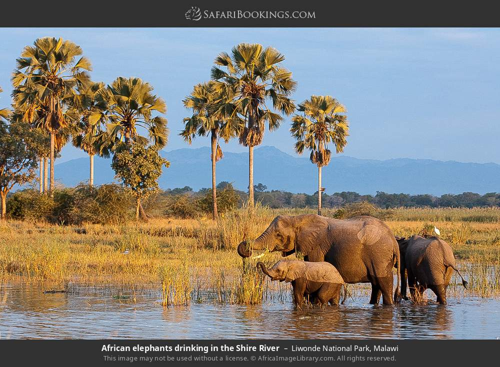 African elephants drinking in the Shire River in Liwonde National Park, Malawi