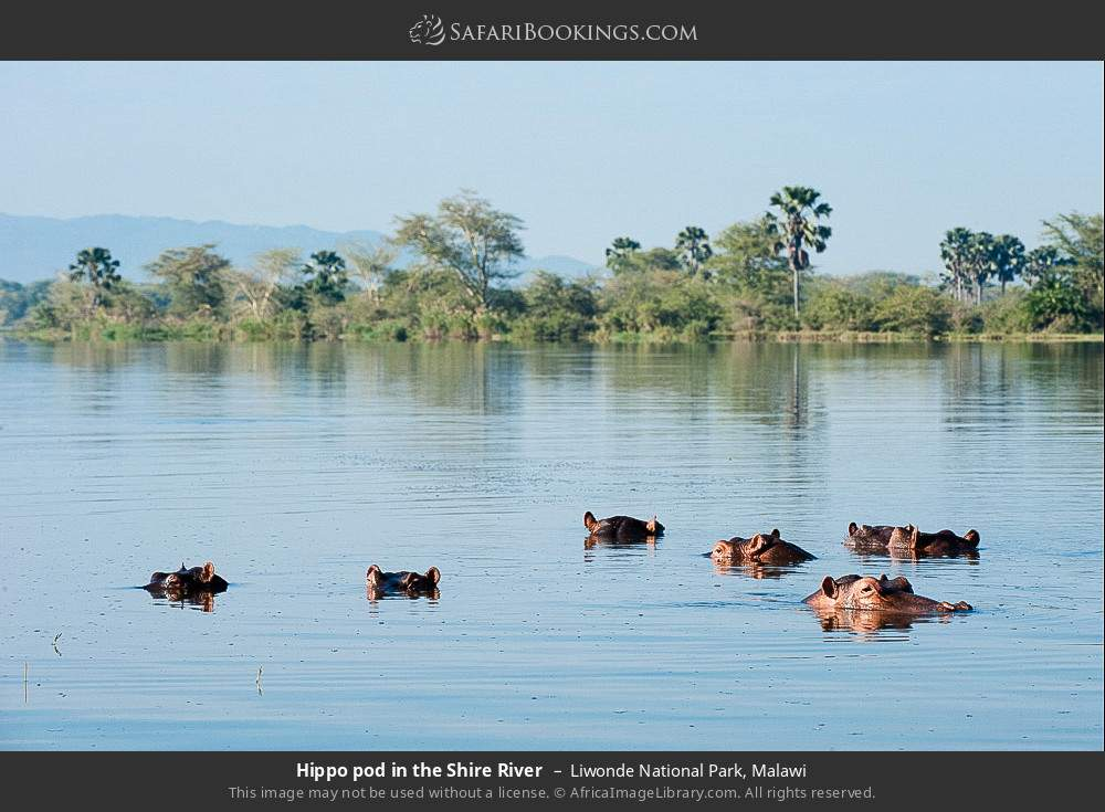 Hippo pod in the Shire River in Liwonde National Park, Malawi