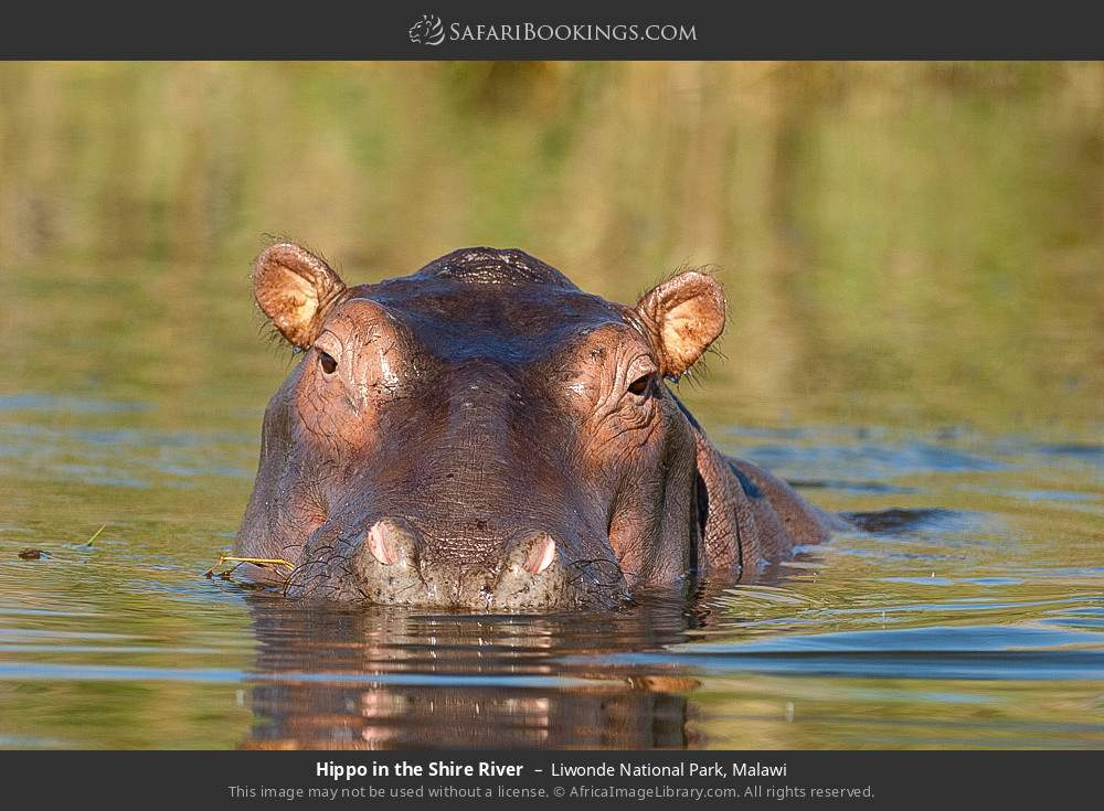 Hippo in the Shire River in Liwonde National Park, Malawi