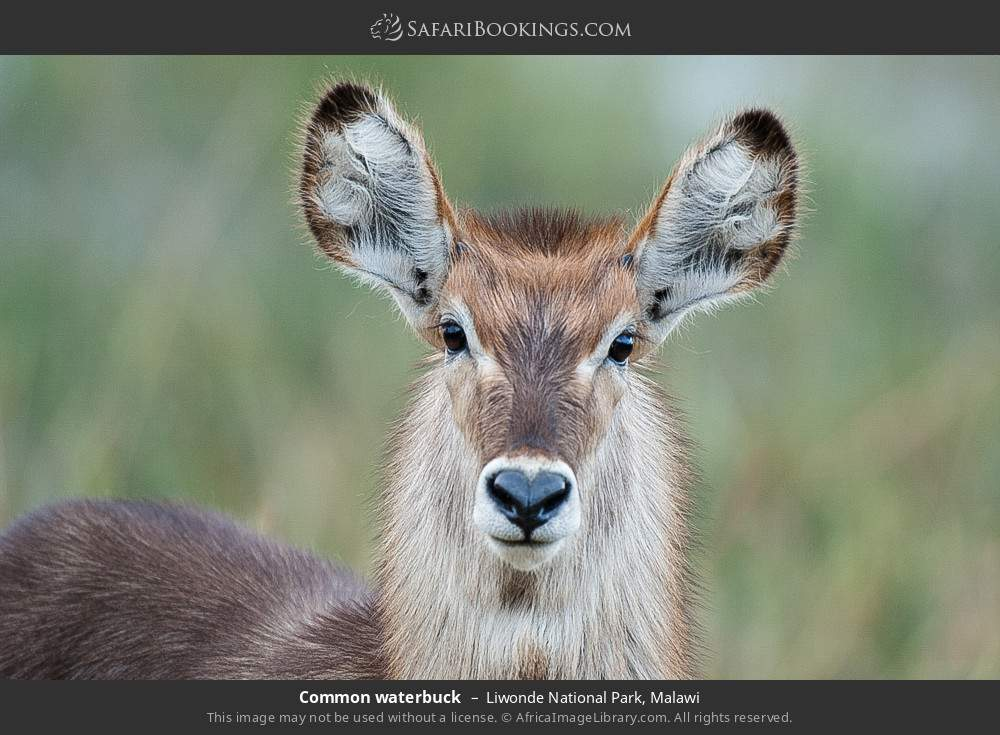 Common waterbuck in Liwonde National Park, Malawi