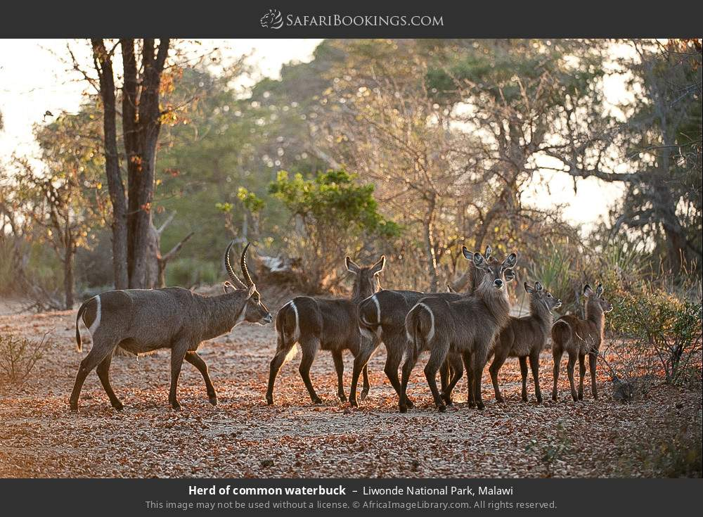 Herd of common waterbuck in Liwonde National Park, Malawi