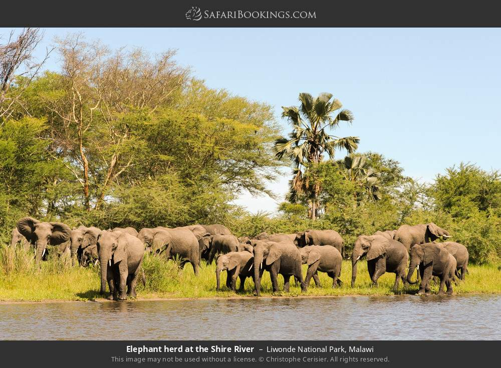Elephant herd at the Shire River in Liwonde National Park, Malawi