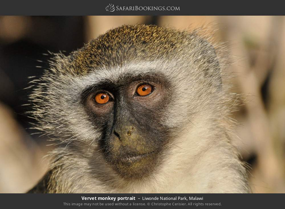 Vervet monkey portrait in Liwonde National Park, Malawi