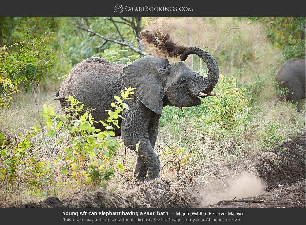 Young African elephant having a sand bath in Majete Wildlife Reserve, Malawi