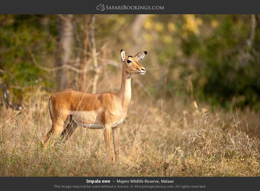 Impala ewe in Majete Wildlife Reserve, Malawi