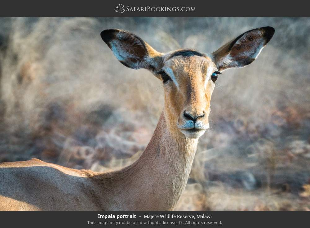 Impala portrait in Majete Wildlife Reserve, Malawi