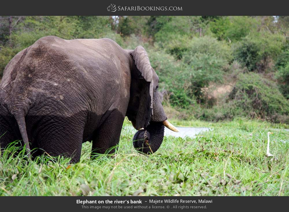 Elephant on the river's bank in Majete Wildlife Reserve, Malawi