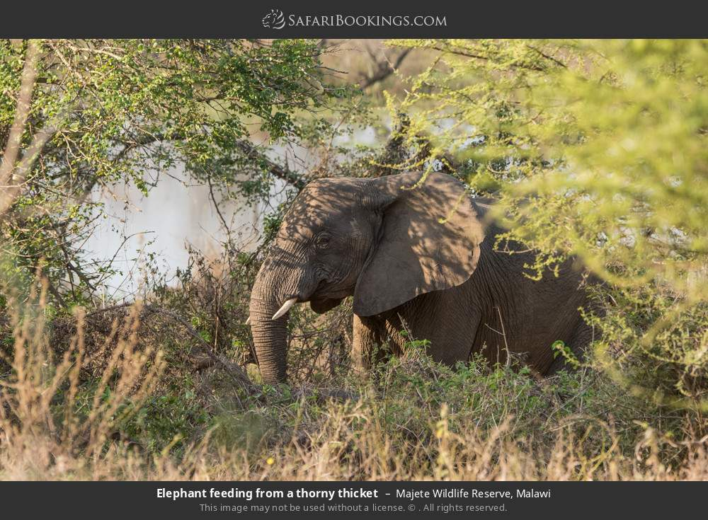 Elephant feeding from a thorny thicket in Majete Wildlife Reserve, Malawi