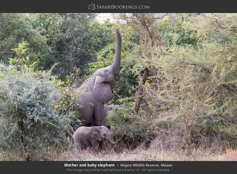 Mother and baby elephant in Majete Wildlife Reserve, Malawi