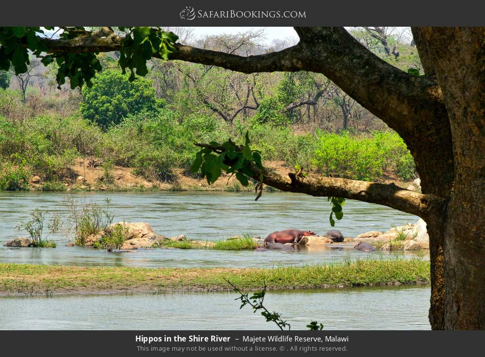 Hippos in the Shire River in Majete Wildlife Reserve, Malawi