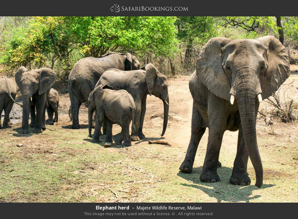 Elephant herd in Majete Wildlife Reserve, Malawi