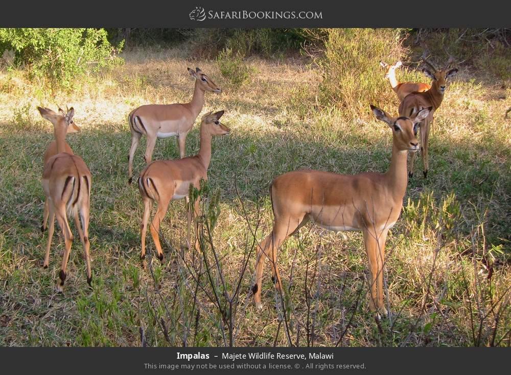 Impalas in Majete Wildlife Reserve, Malawi