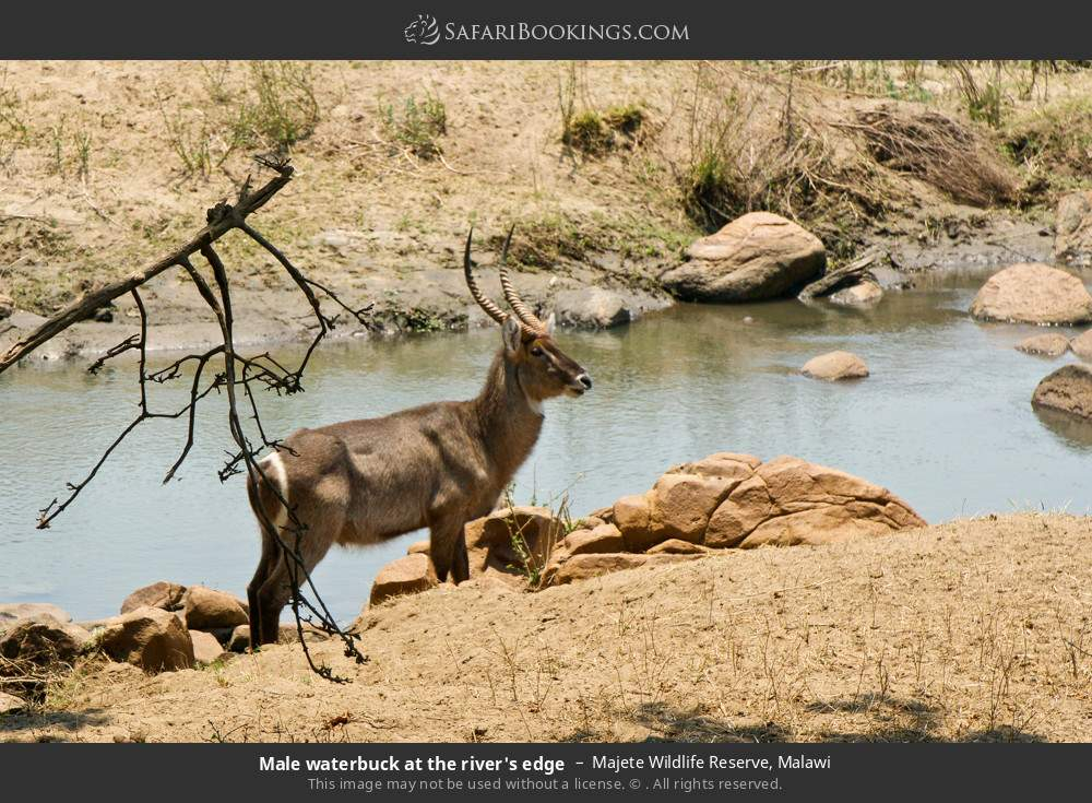 Male waterbuck at the river's edge in Majete Wildlife Reserve, Malawi