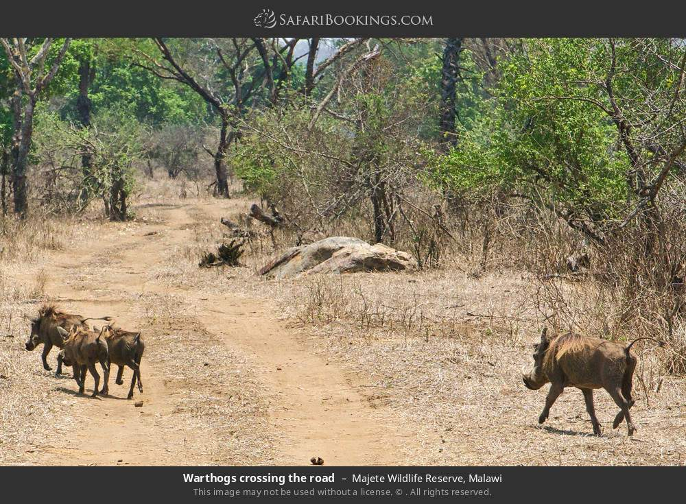 Warthogs crossing the road in Majete Wildlife Reserve, Malawi