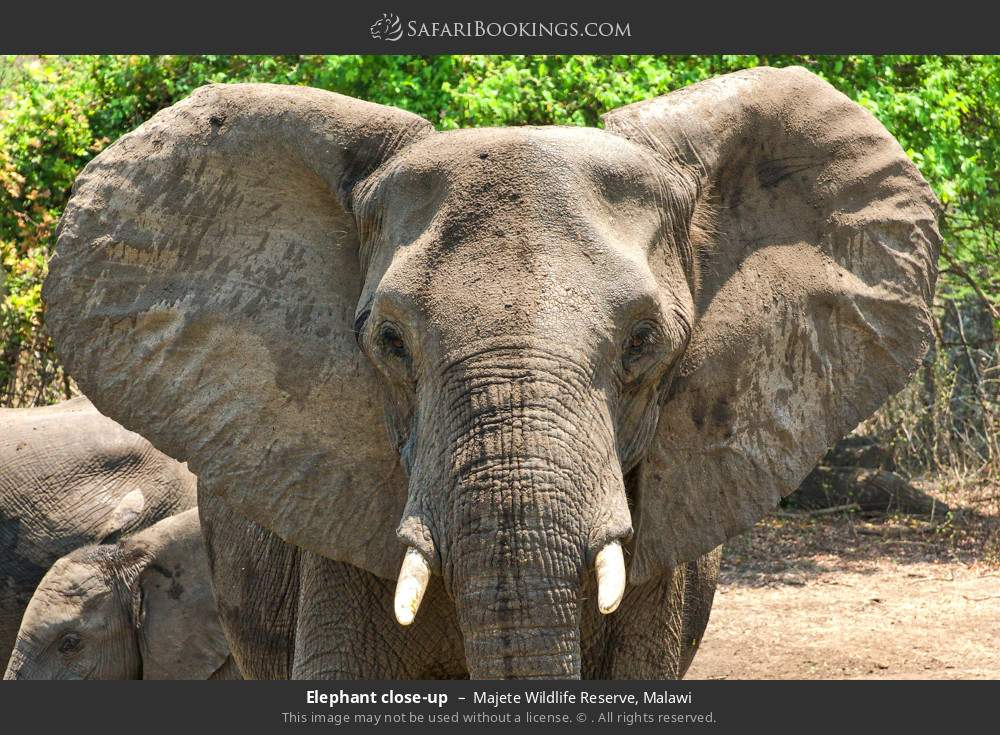 Elephant close-up in Majete Wildlife Reserve, Malawi